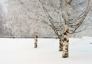 Birches%20in%20Winter